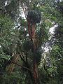 Luma apiculata with Fascicularia bicolor.jpg