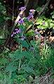 Lunaria annua - plants (aka).jpg