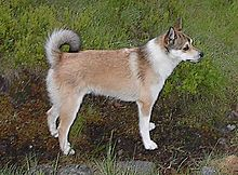 Norwegian Lundehund Wikipedia