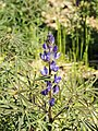 Lupinus angustifolius (flower spike).jpg