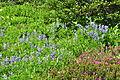 Lupinus latifolius & Phyllodoce empetriformis - Paradise, Mount Rainier, August 2014 - 01.jpg