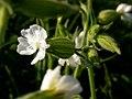 Lychnis alba flower (3622694602).jpg