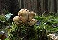 Lycoperdon-perlatum-flaschenstaeubling-alt.jpg
