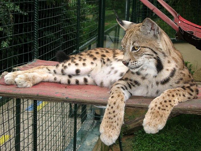 Lynx lying down.JPG
