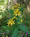 Lysimachia vulgaris20090812 059.jpg