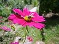Méh és virág.JPG