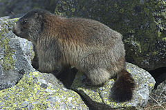 M. marmota latirostris (Tatra Mountains).jpg