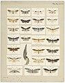 MA I437898 TePapa Plate-XXXVII-The-butterflies full.jpg