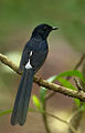 MG 0945-White-Rumped-Shama.jpg