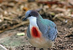 MINDANAO BLEEDING-HEART DOVE (6951813978).jpg