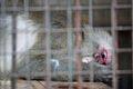 Macacus speciosa captivity.jpg