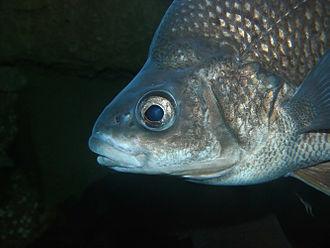 Macquarie perch - Closeup of Macquarie perch head