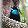 Magnificent Riflebird.jpg