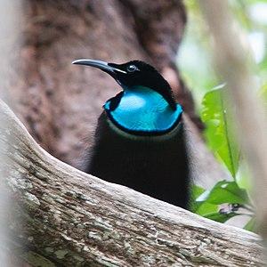 Magnificent riflebird - Image: Magnificent Riflebird