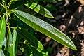 Magnolia insignis.jpg