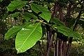Magnolia tripetala 5zz.jpg