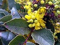 Mahonia aquifolium DehesaBoyalcloseup