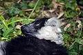 Maki Vari noir et blanc (Zoo Amiens)b.JPG