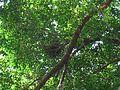 Malayan night heron young in nest.jpg