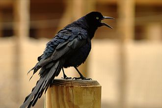 Great-tailed grackle - A male Great-Tailed Grackle, making its distinctive call