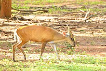 Male barking deer in Korat zoo.jpg
