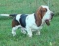 Male basset hound.jpg