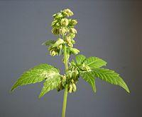 Male hemp flowers