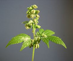 Male hemp flowers.jpg