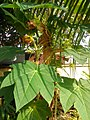 Male papaya plant with nonperforated leaves Pj DSC 1954.jpg