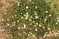 Malta - Marsaxlokk - Triq Delimara - Xrobb L-Ghagin - Anthemis urvilleana + Romulea columnae 01 ies.jpg