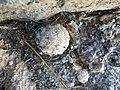 Mammillaria theresae (5702877724).jpg