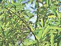 Manmada tree.jpg