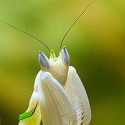 Bộ sưu tập Côn trùng - Page 5 180px-Mantis_Hymenopus_coronatus_4_Luc_Viatour