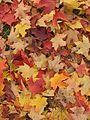 Maple leaves (4093698383).jpg