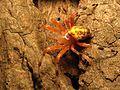 Marbled Orbweaver - Flickr - treegrow (6).jpg