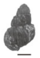 Margarya francheti shell 2.png