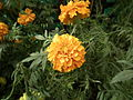 Marigold from lalbagh 1783.JPG