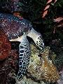 Marine turtle komodo.jpg