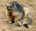 Marmot in France.jpg