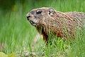 Marmota monax UL 11.jpg