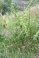 Marrubium vulgare L. (AM AK348293-2).jpg