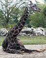 Masai Giraffe 036.jpg