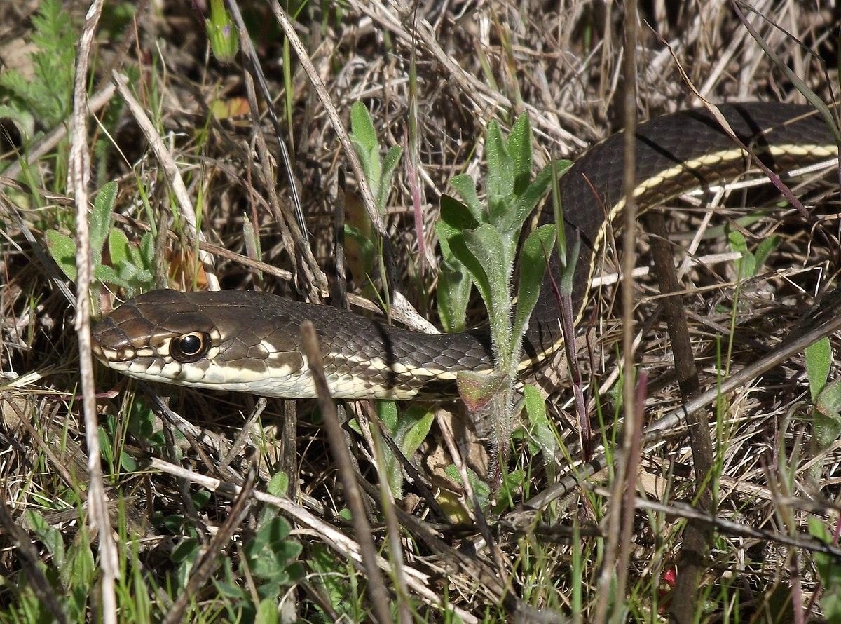 california whipsnake