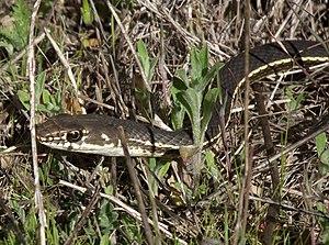 California whipsnake - Masticophis lateralis ssp. lateralis