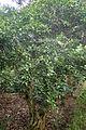 Maytenus canariensis kz6.JPG