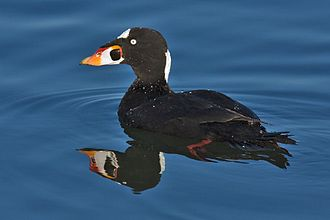 Surf scoter - Adult male
