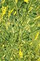 Melilotus officinalis PID1302-2.jpg