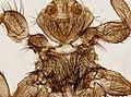 Melophagus ovinus (YPM IZ 093752).jpeg