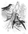 Menniskans härledning och könsurvalet illustration sida II-56.png