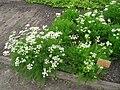 Meum athamanticum - Berlin Botanical Garden - IMG 8523.JPG